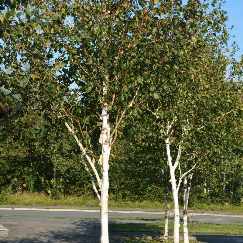 Betula utilis jacquemontii White trunk birch