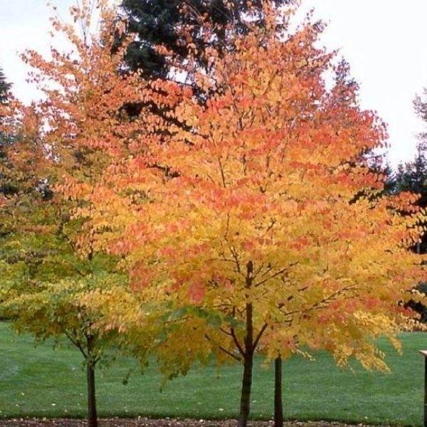 Katsura Tree