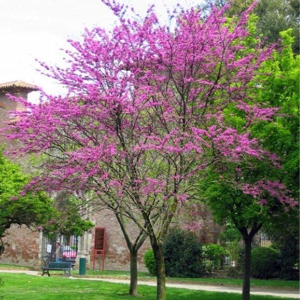 Cercis siliquastrum Judas tree