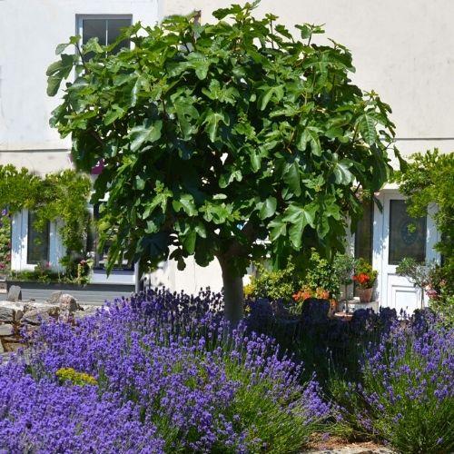 Ficus carica Fig Tree