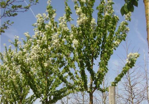 Prunus serrula and Prunus maakii