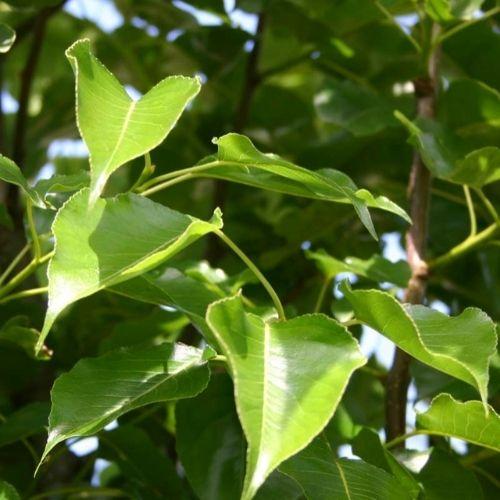 Pyrus calleryana Chanticleer The ornamental pear