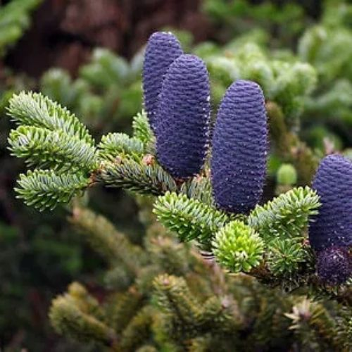 Abies koreana Korean Pine