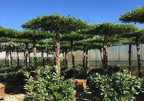 Contemporary Garden Trees