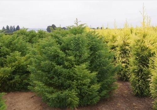 Cryptomeria japonica Japanese conifer