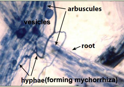 Mycorrhizal fungi