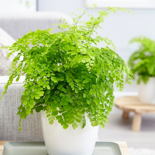 Plants for living walls