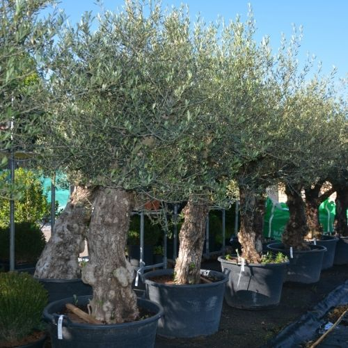Olive tree planting guide